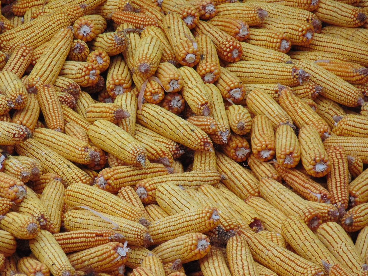 Inicia la romería de elote cacahuazintle